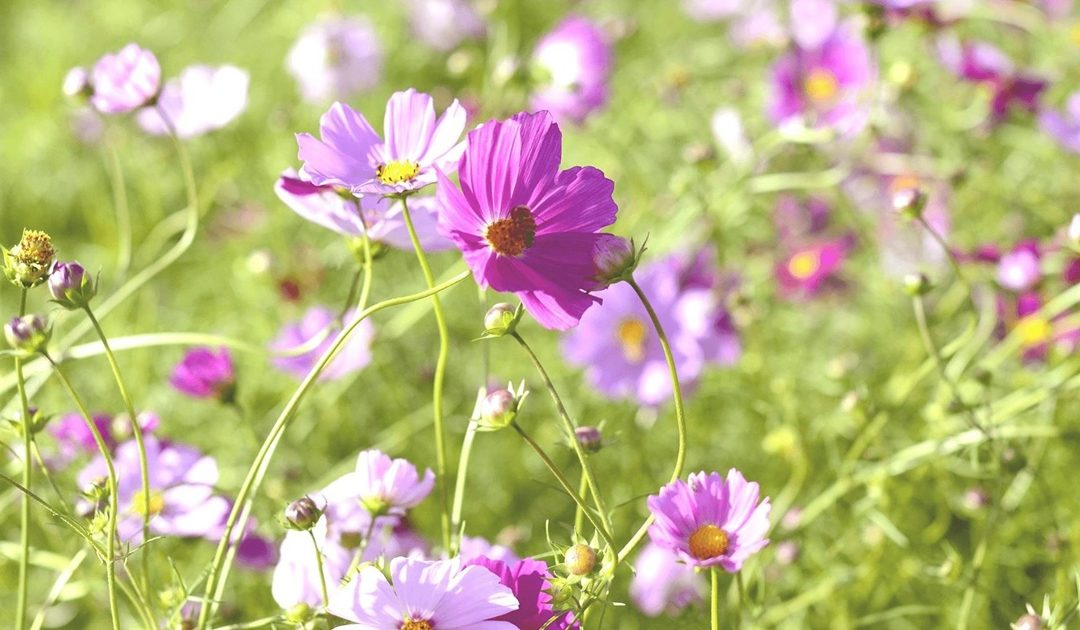 Cosmos Wildflowers in a field